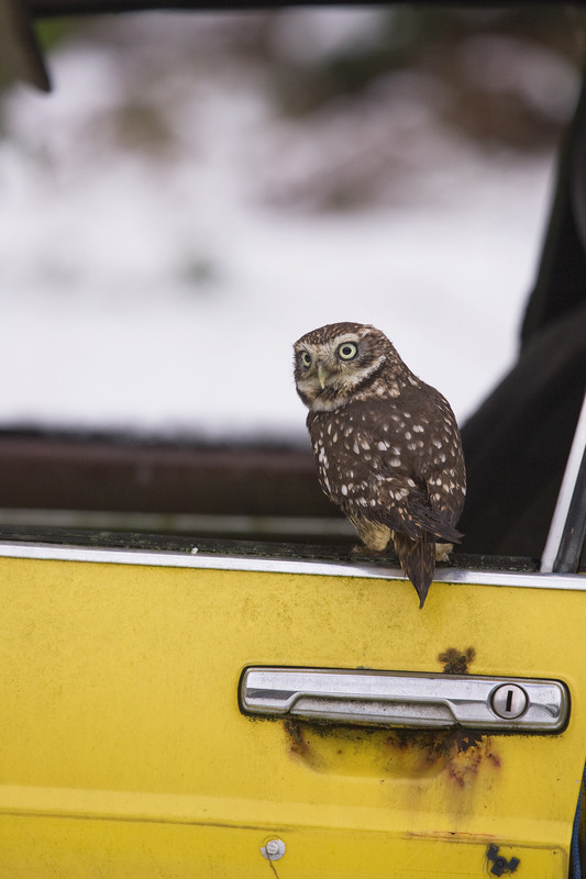 little owl in abandon car, lincolnshire