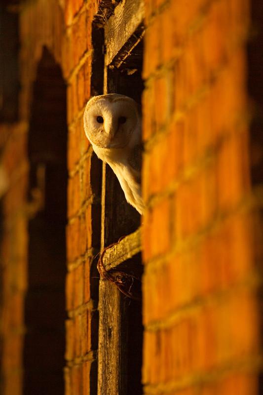 a barn owl, lincolnshire