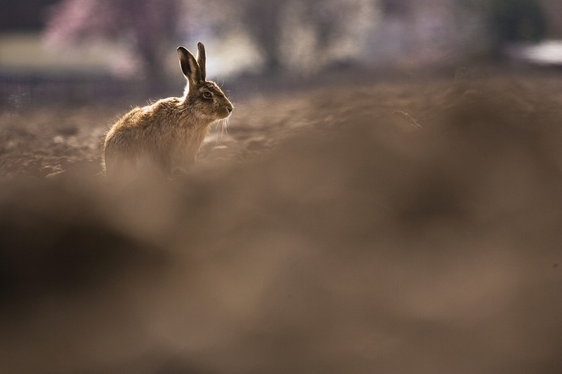 a single hare in a field, lincolnshire