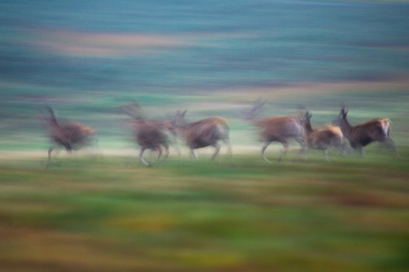 red deer on the move at bradgate park.