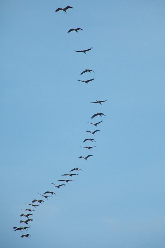 common crane's in spain