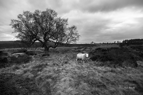 Solitary Sheep - Peak District