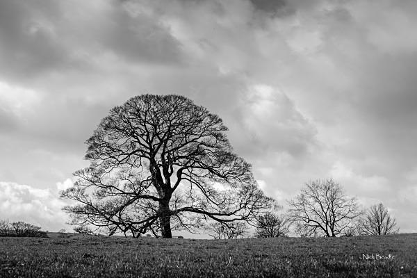 Tree in a Derbyshire Field - Peak District