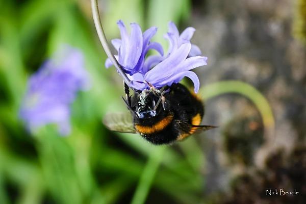 Bee on Flower - Fauna