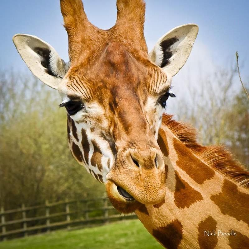 Giraffe - Fauna