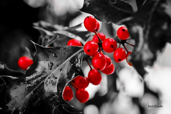 Holly Berries - Red