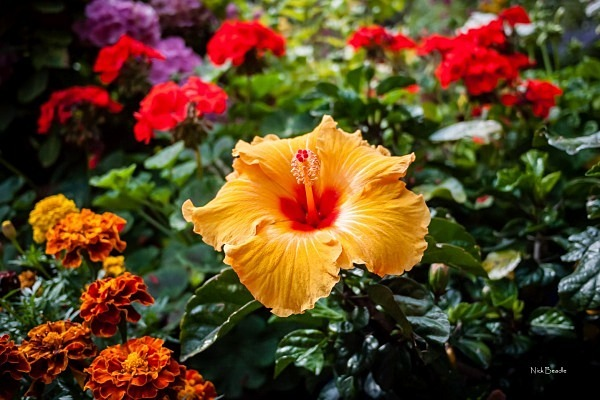 Hermerocallis - Flora