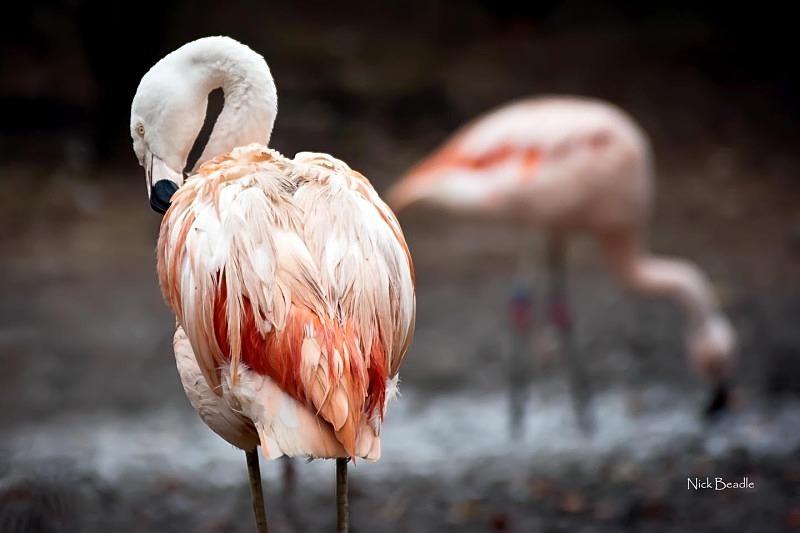 Pink Flamingos - Fauna