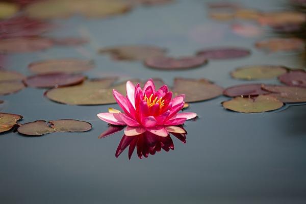 Lily - Flora