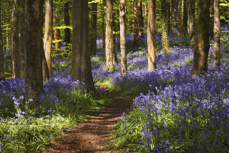 Evening in the Bluebells - Co Down