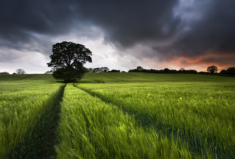A Tree in A Barley Field in Bessbrook, Co Armagh in Northern Ireland