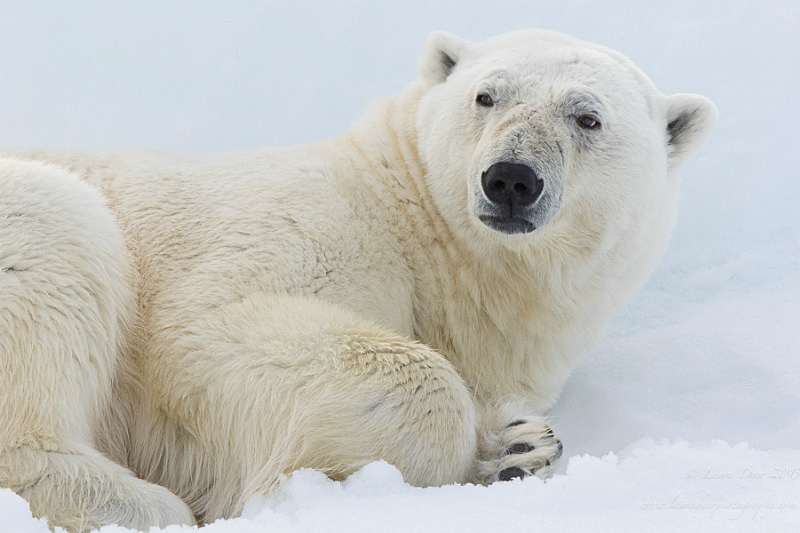 Polar bear portrait - Svalbard