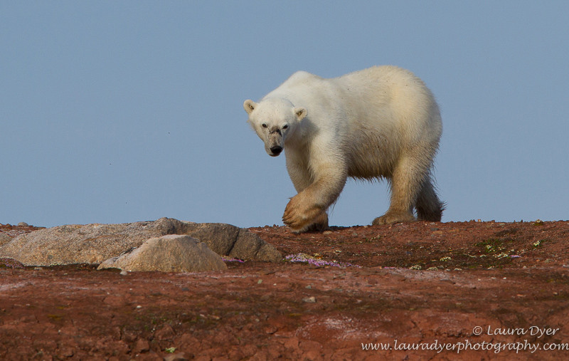 Huge paws - Svalbard
