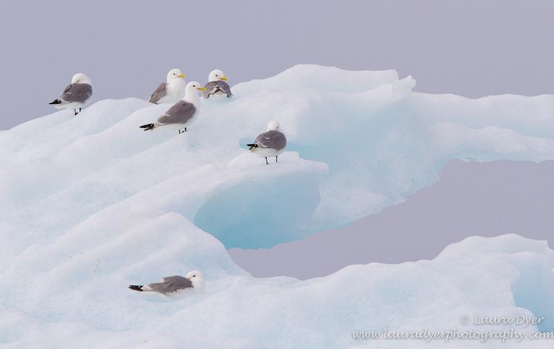 Kittiwakes on a glacier Ice Floe