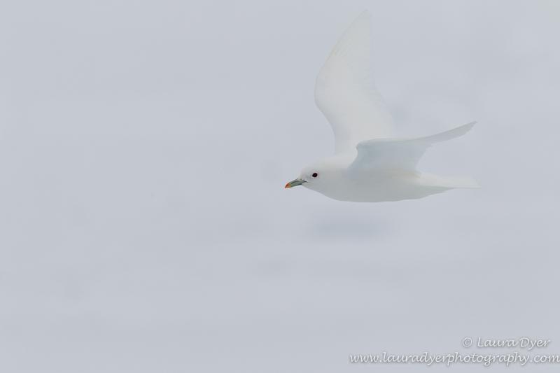 Ivory Gull in white - Svalbard
