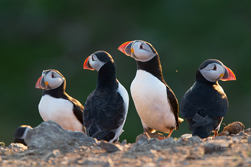 Puffin gathering - Seabirds