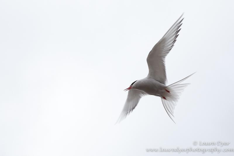 Arctic tern attack - Svalbard