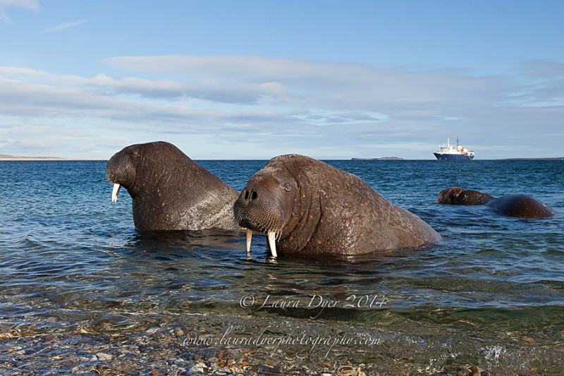 Curious Walrus - Svalbard