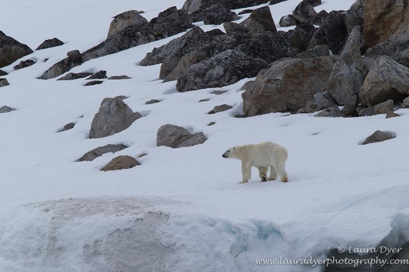 Polar bear in Arctic landscape - Svalbard