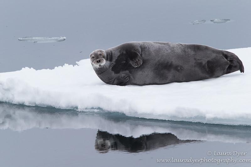 Seal reflections - Svalbard