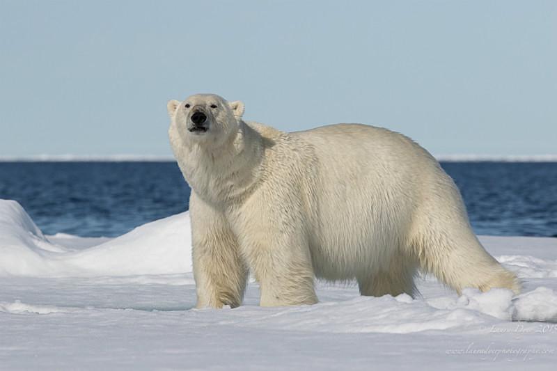 Bear on the ice - Svalbard