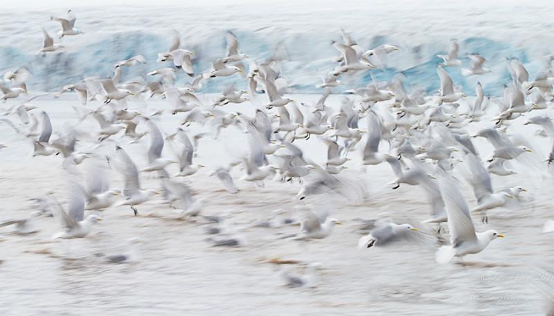 Flock of life - Svalbard