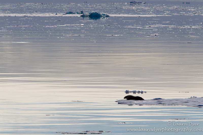 Seal on drift ice - Svalbard