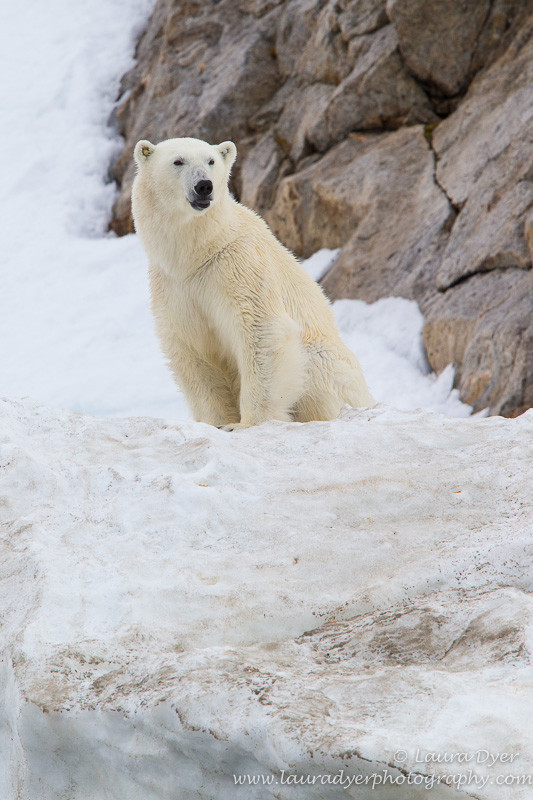 Summer Polar Bear - Svalbard
