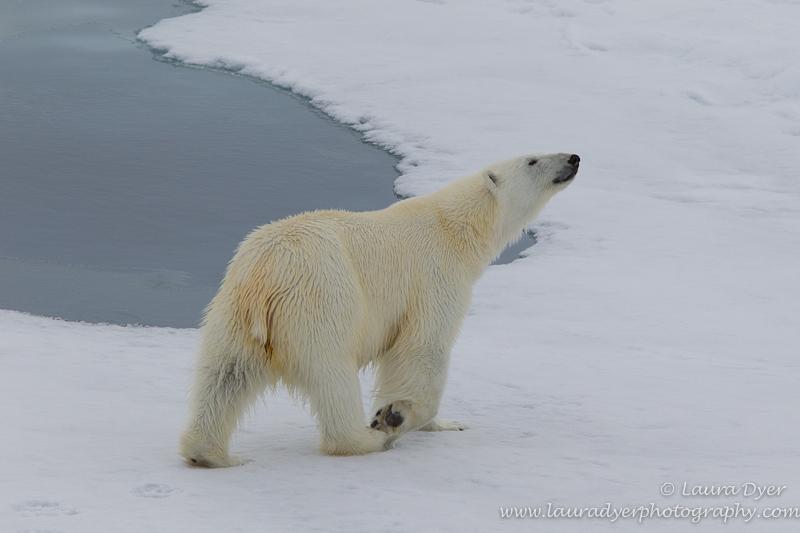 Curious Bear - Svalbard