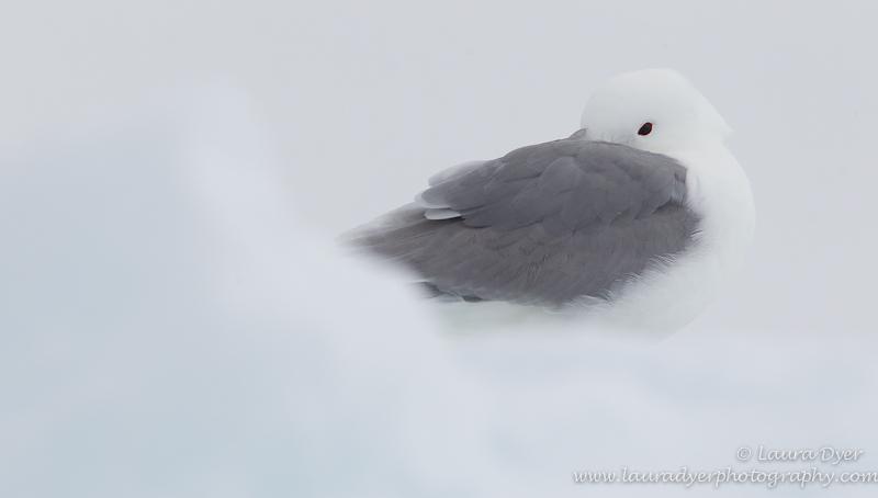 Kittiwake on Ice Floe - Svalbard