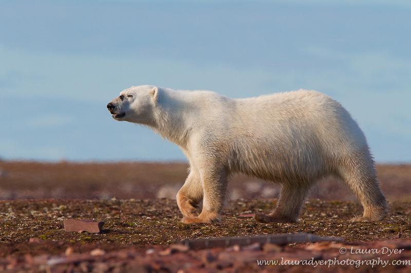 Marching polar Bear in Svalbard