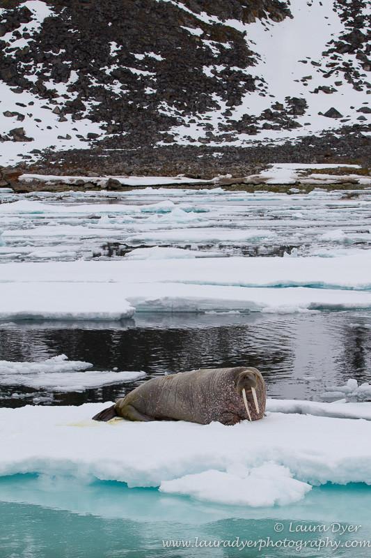 Walrus on ice - Svalbard