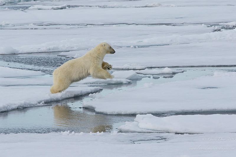 Jumping bear - Svalbard