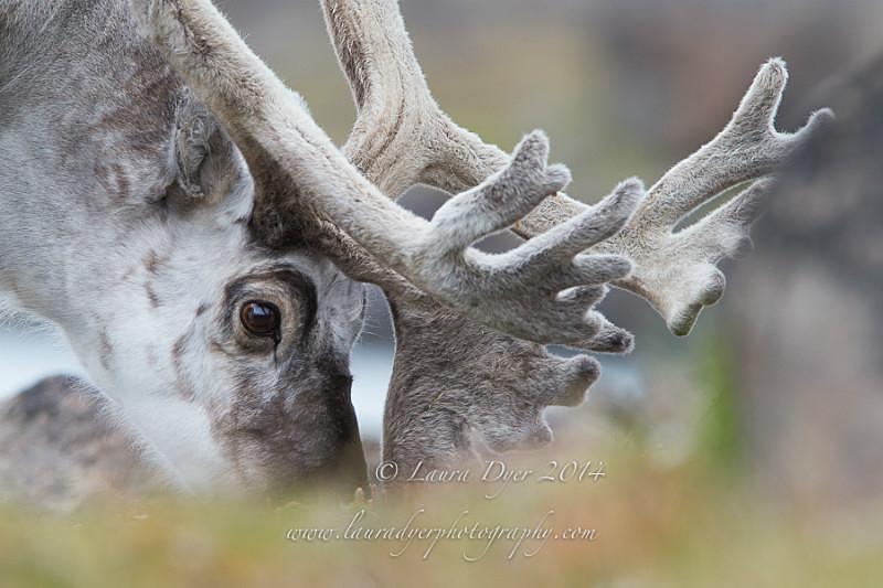 Grazing Reindeer - Svalbard