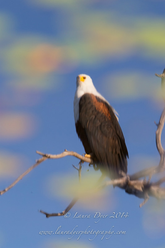 FishEagle reflections - Birds of Africa