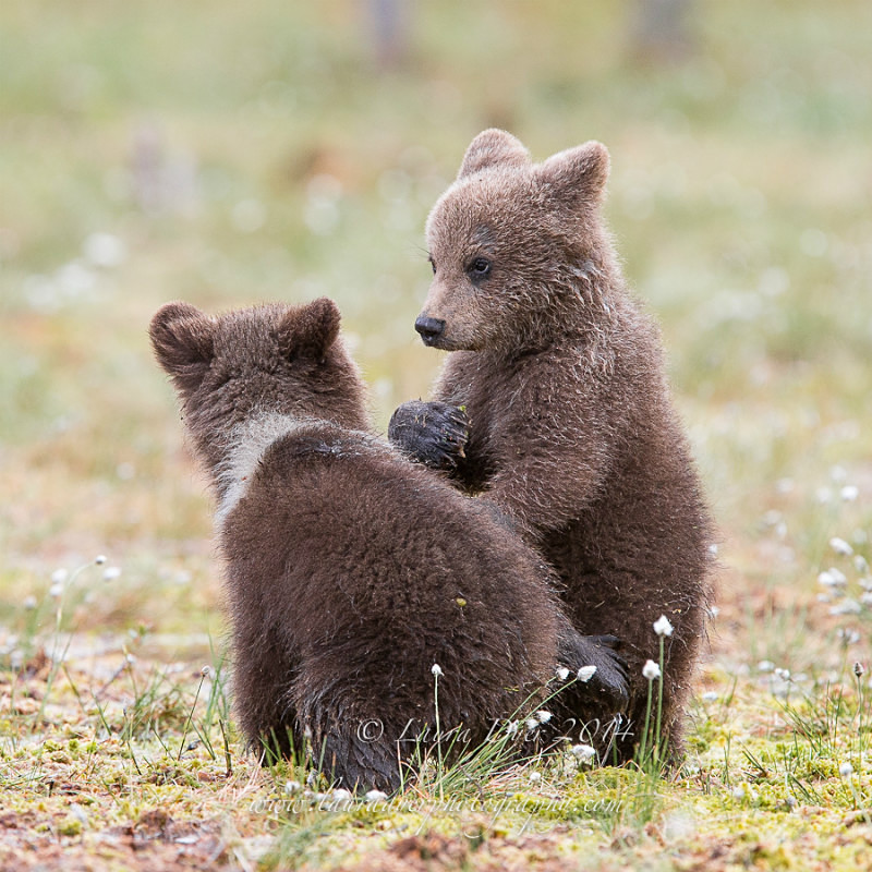 Spring cubs - Finland