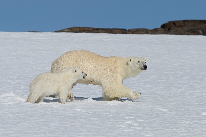 Young cub and mother - Svalbard