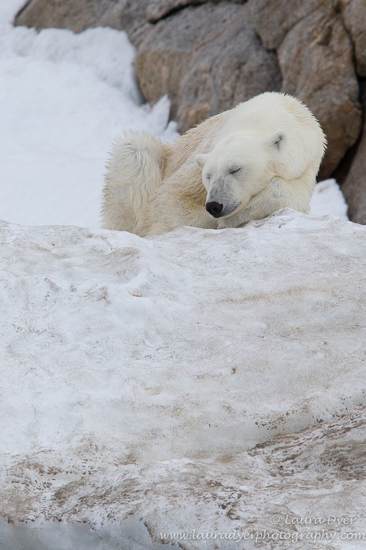 Sleeping bear - Svalbard