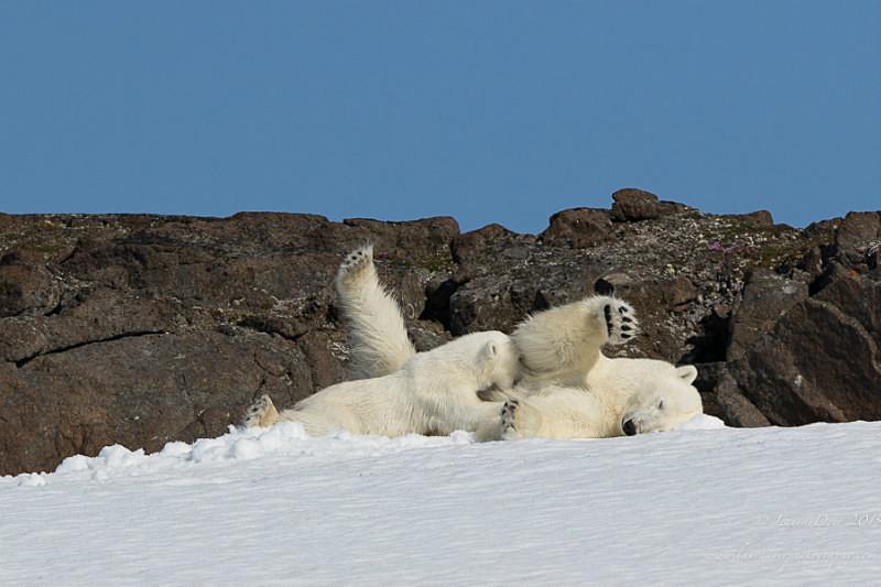Suckling bear cub - Svalbard