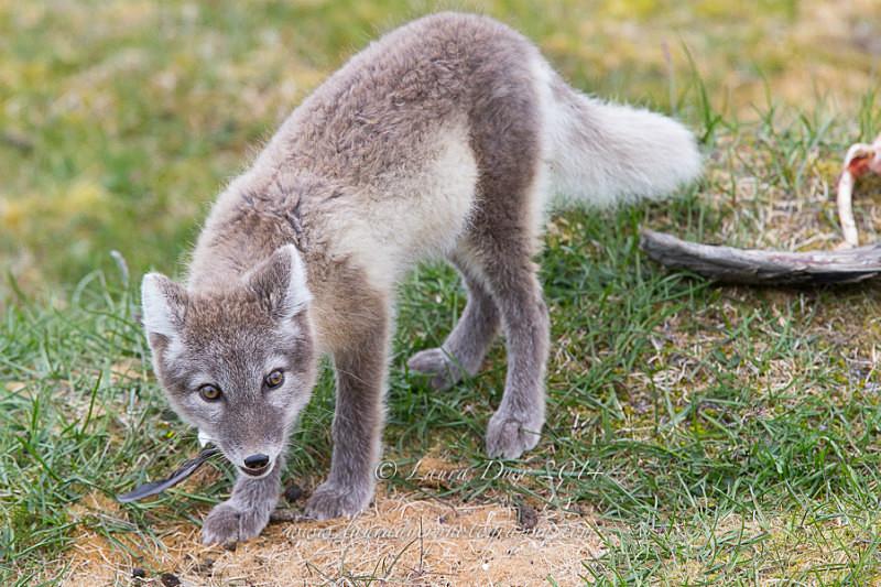 Arctic fox feast - Svalbard