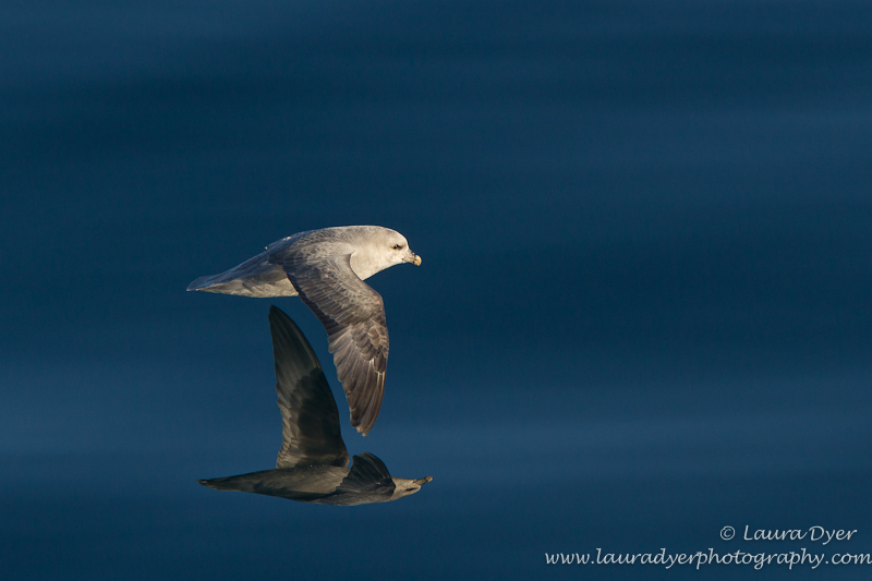 Reflected Northern Fulmar on water