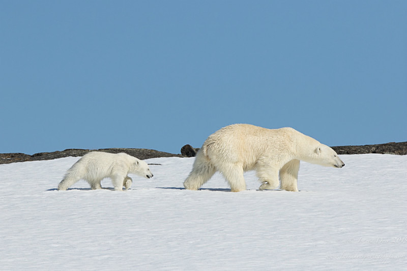 Mother and cub mimic - Svalbard