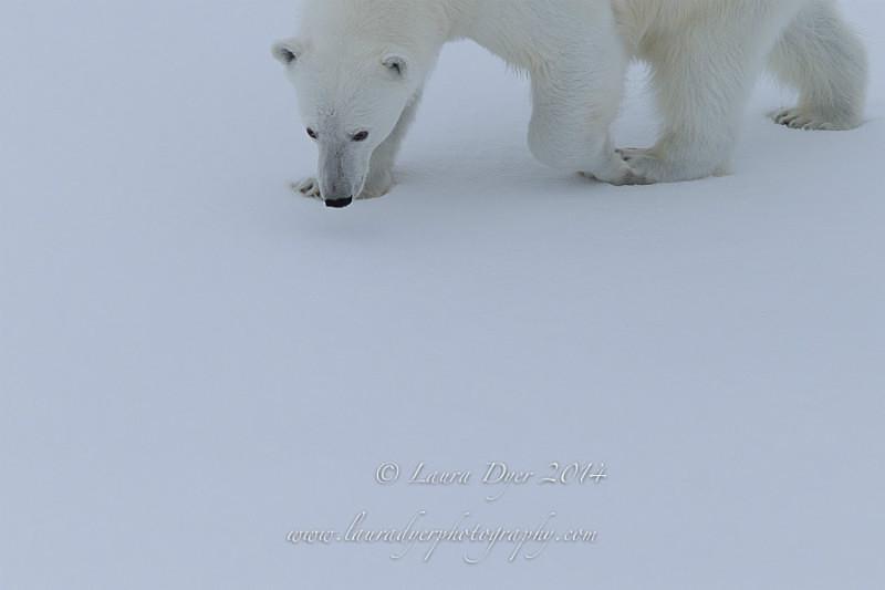 Sneaky Bear - Svalbard