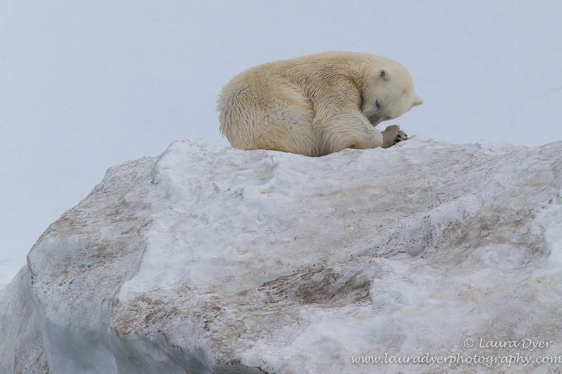 Sleepy bear - Svalbard