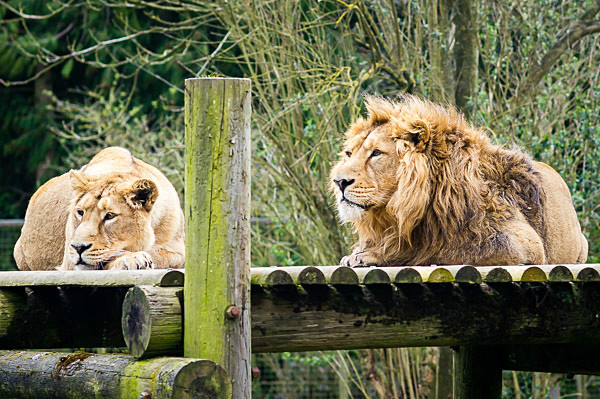 Lions at the Cotswold Wildlife Park - The Cotswolds