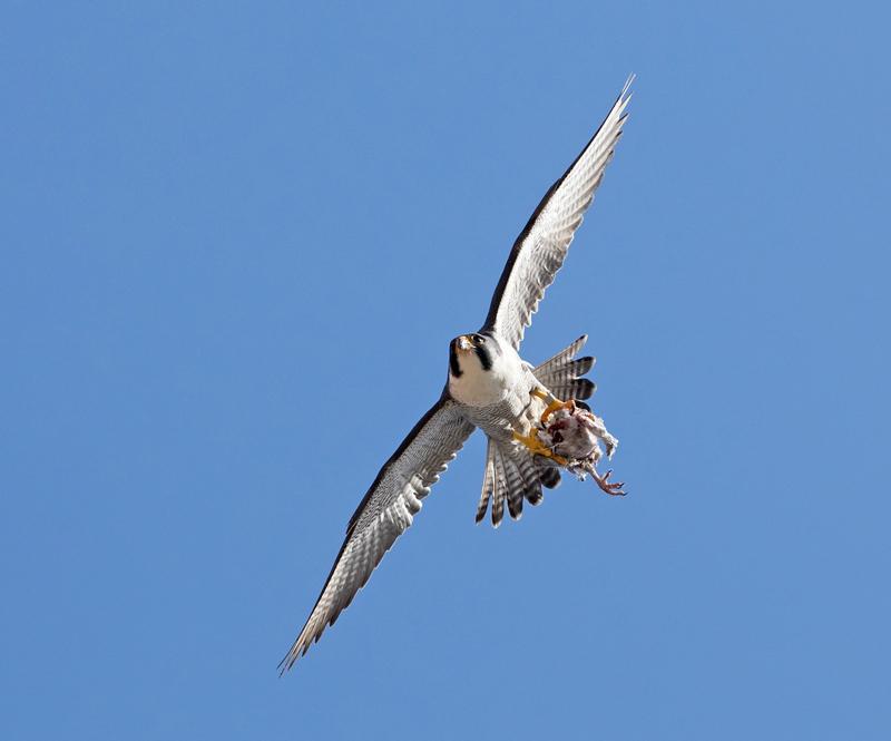 Peregrine Falcon - Falco peregrinus - Birds of prey