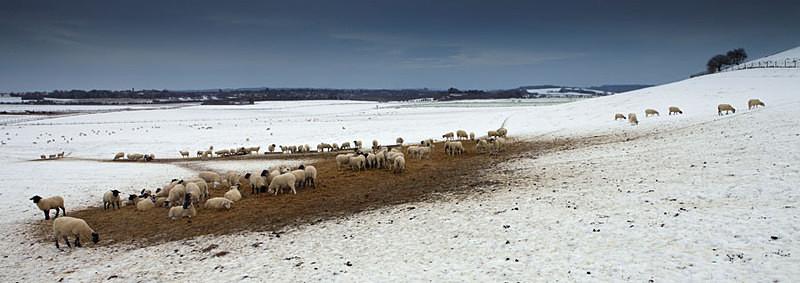 Sheep in Winter - Panoramas