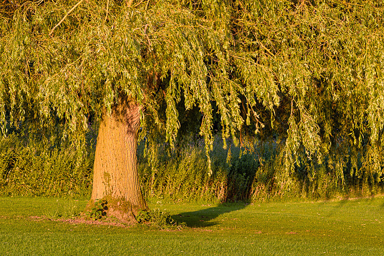 Tree by the 10th fairway (3) - The Tytherington Club