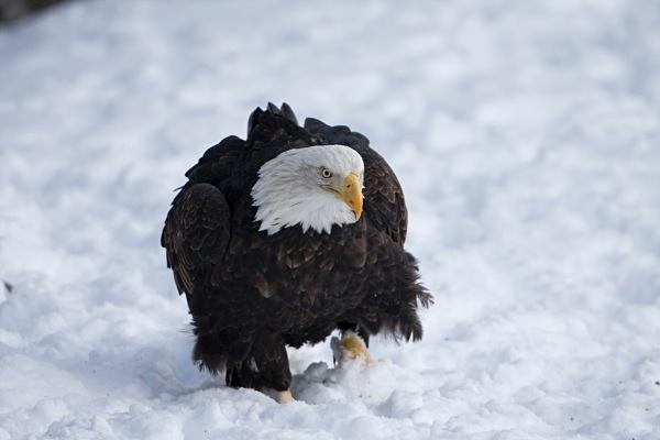 Bald Eagle IMG_1638 - Nature