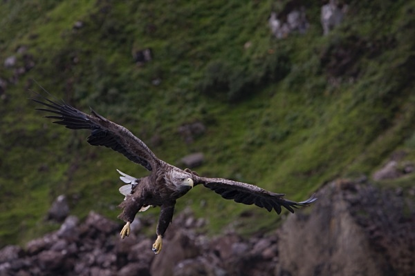 _MG_4730 - White Tailed Eagles